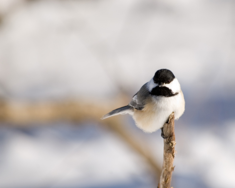 CBC Homestretch: How small birds survive the cold, cold winter