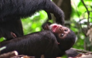 CBC Homestretch: Primates large and small