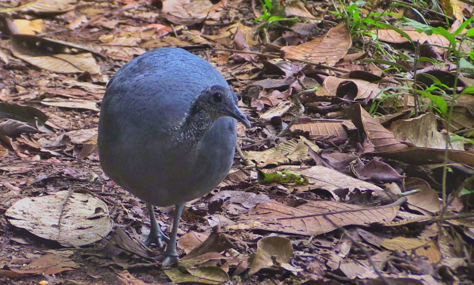 Ecuador | picture of tinamou