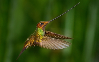 Hummingbirds | picture of sword billed hummingbird