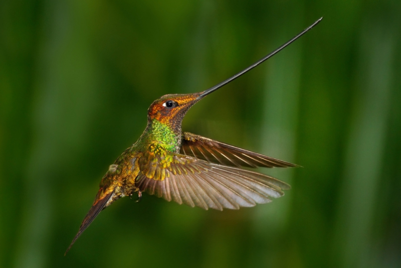 Hummingbirds | picture of sword billed hummingbird