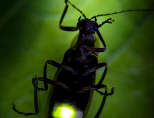 CBC Homestretch: Bioluminescence