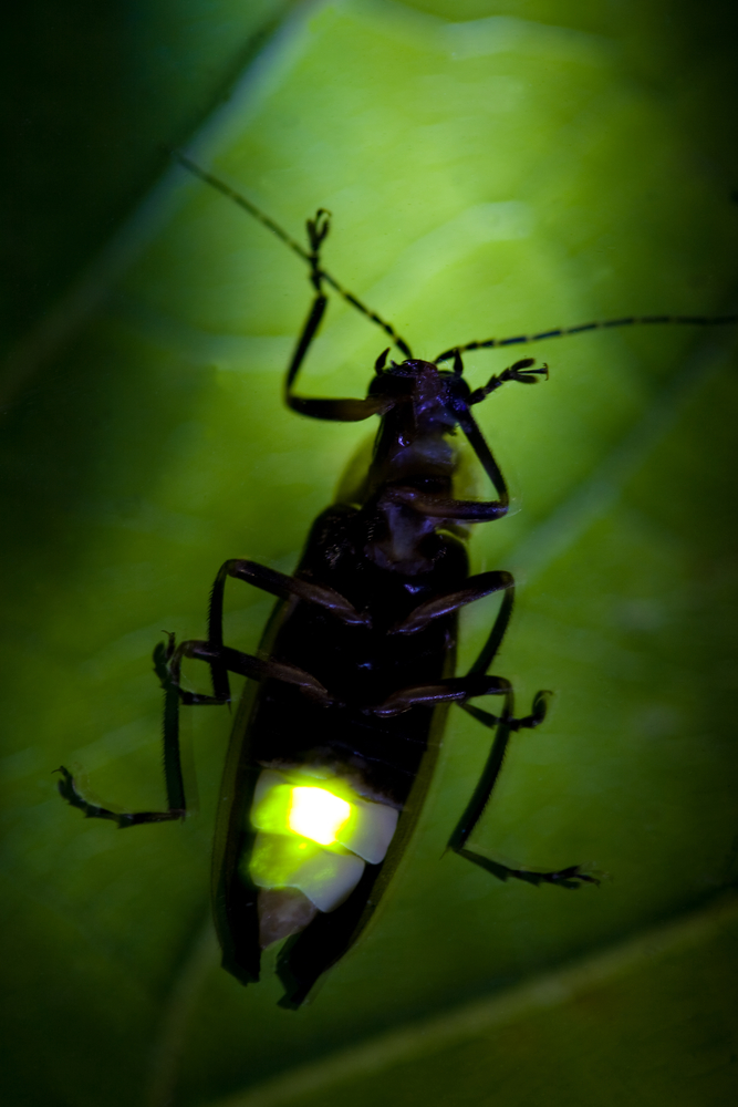 Bioluminescence-picture-of-firefly