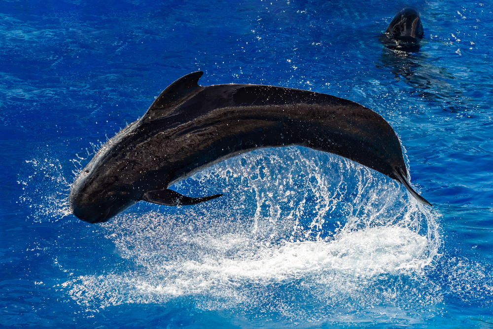 whales | picture of pilot whale leaping from ocean