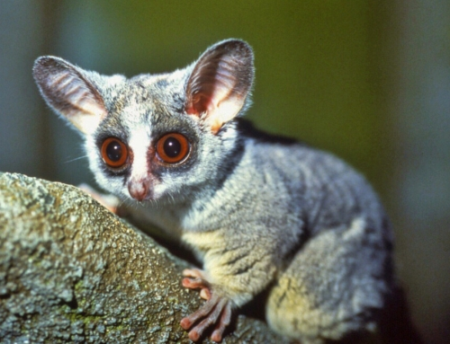 CBC Homestretch: Bush Baby