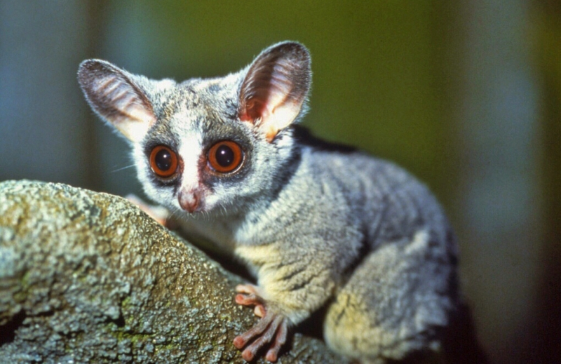 Bush Baby | picture of Bush Baby on tree