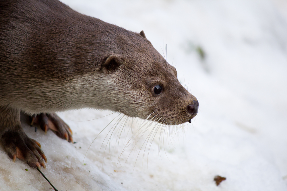 Otters| picture of Otter in the snow