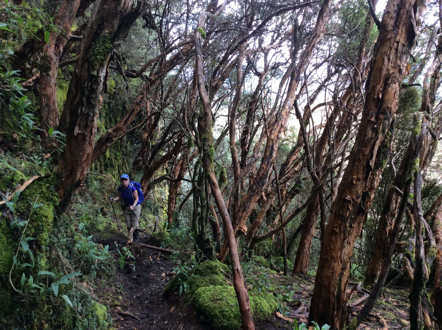 Ecuador | Dee hiking through an endangered Polylepis forest
