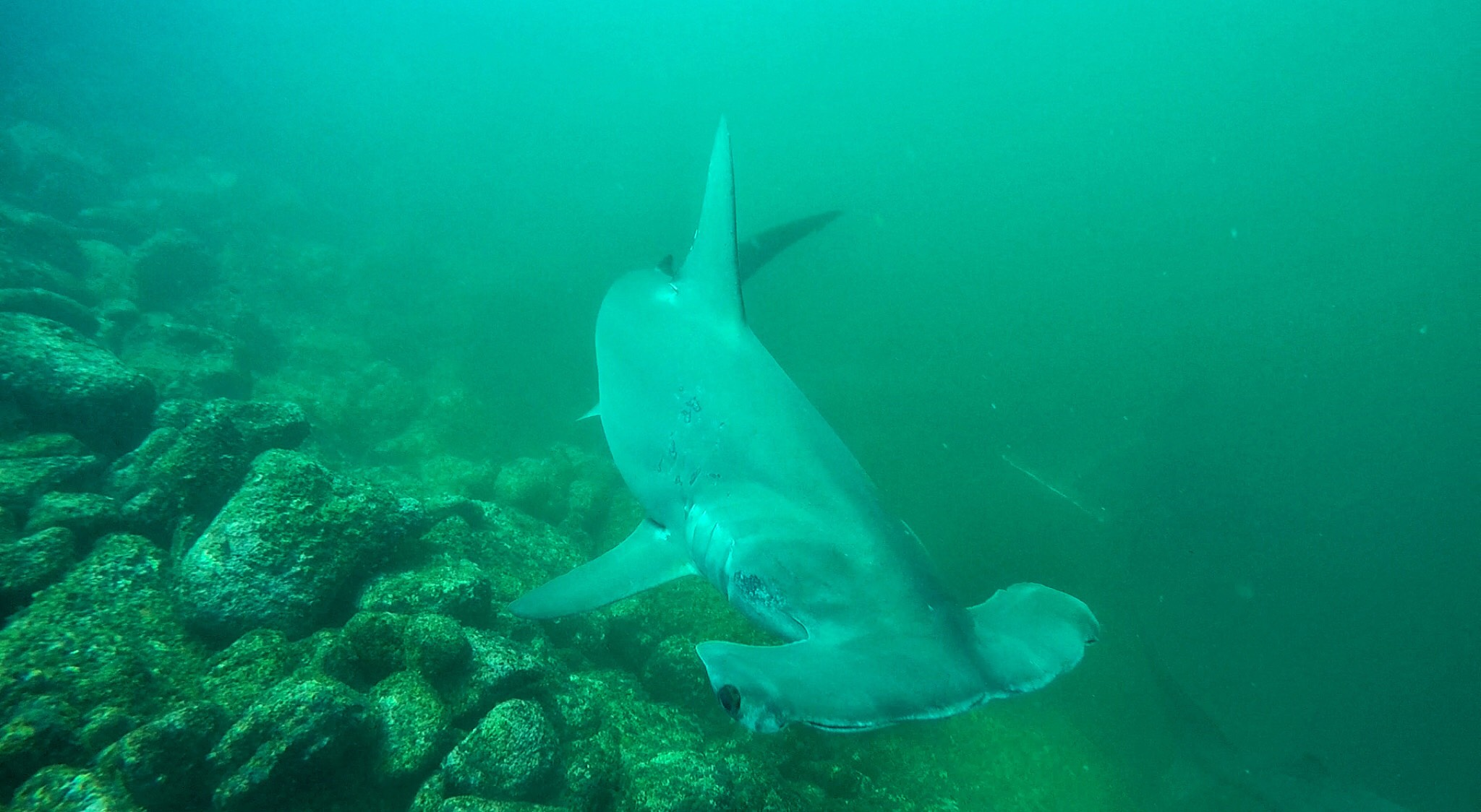Galapagos | picture of hammerhead shark