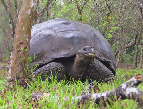 CBC Homestretch: Galapagos Islands' Tortoises