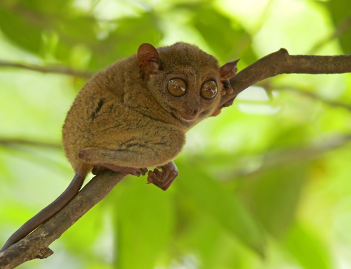 CBC Homestretch: Two New Species of Tarsiers Discovered in Indonesia