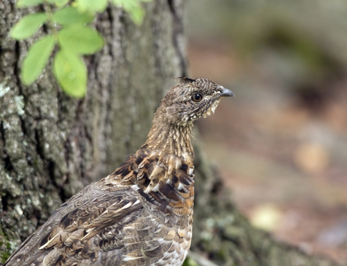 CBC Homestretch: Ruffed Grouse