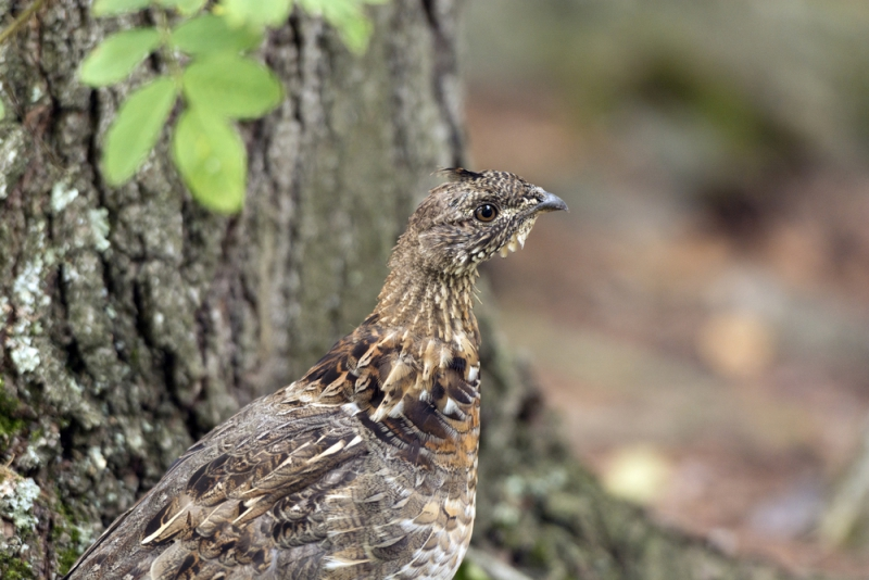 Ruffed Grouse | CBC Homestretch