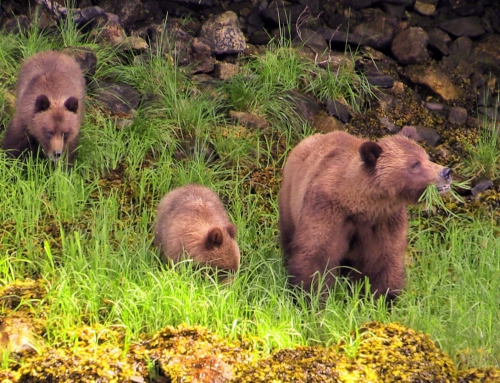 CBC Homestretch: Grizzly Bears North of Prince Rupert