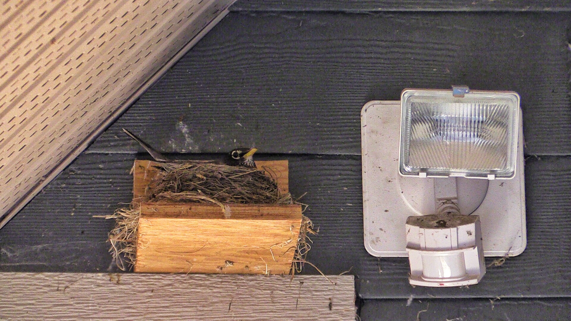 Robins | wide shot of robin nesting