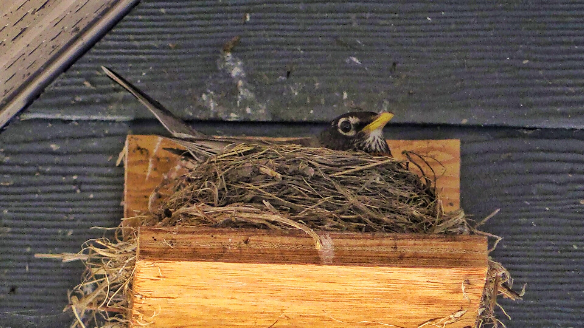 Robins | close up of robin nesting