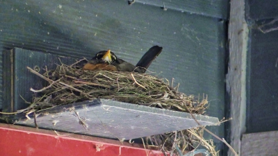 Robins | picture of robin nesting
