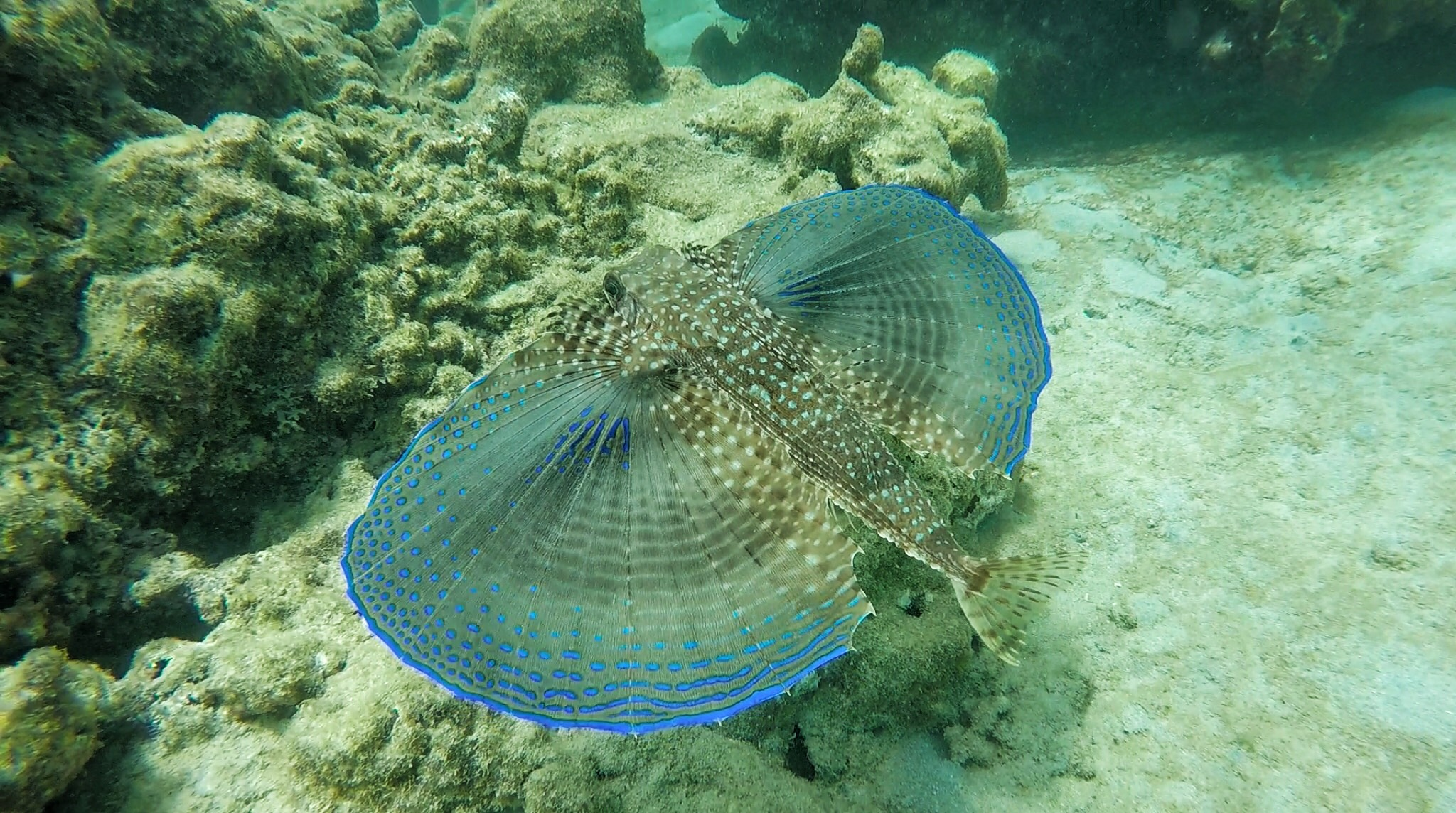 Barbados | Picture of Flying Gurnard