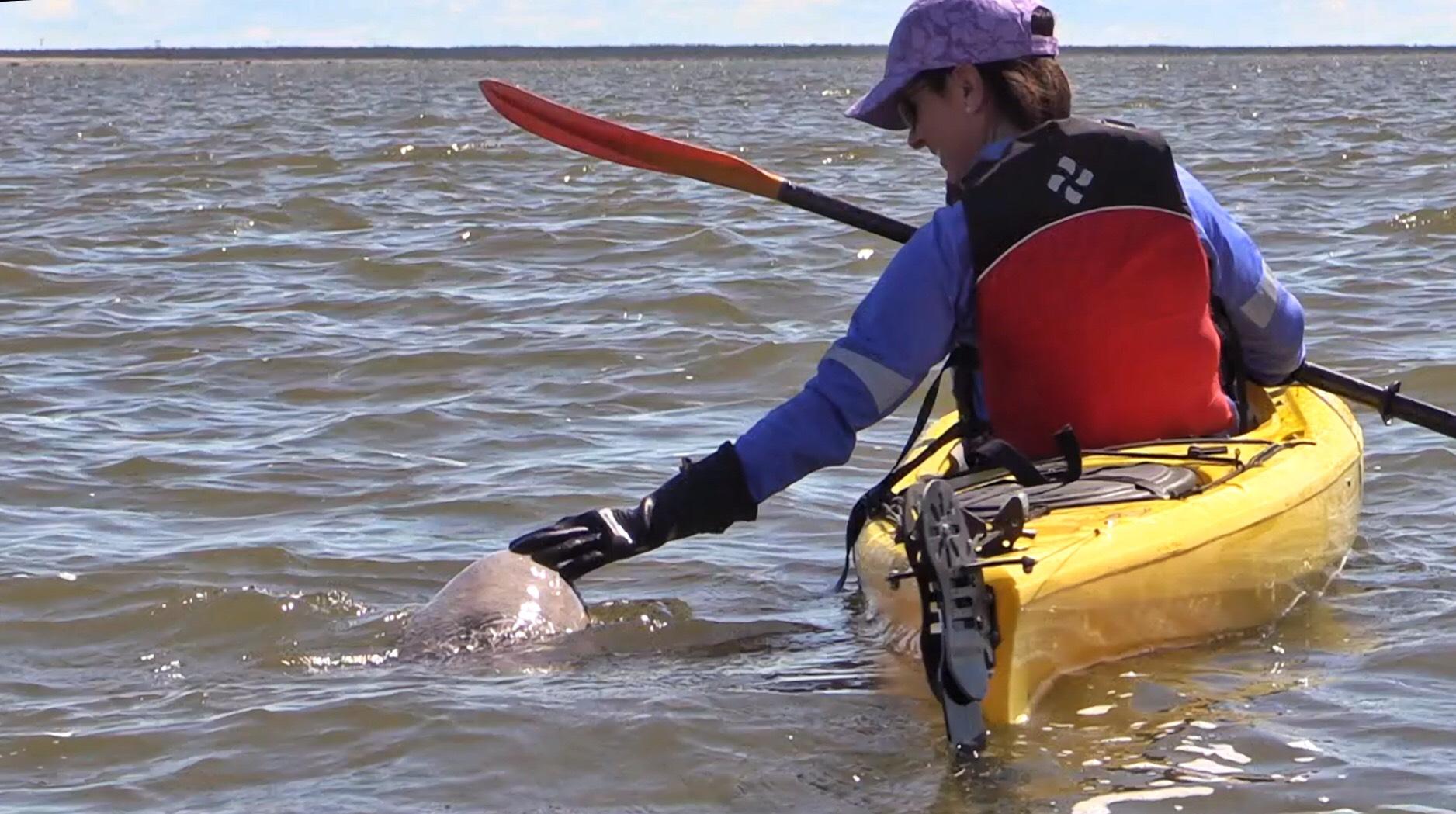 Beluga Whales 3