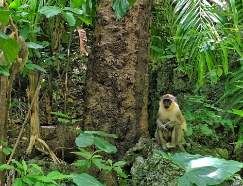 CBC Homestretch: West African Green monkey in Barbados