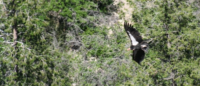 A California Condor, Gymnogyps californianus, One of the Largest and Rarest Birds in North America, Glides Over a Grove of Trees in the Grand Canyon, Arizona