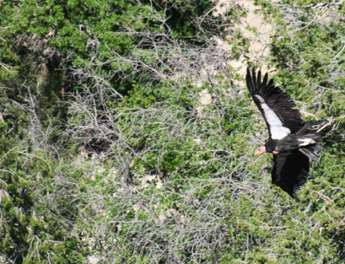 CBC Homestretch: California Condor