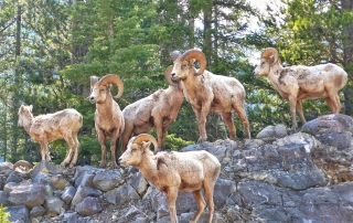 Bighorn Sheep|Picture Sheep in Kananaskis Provincial Park