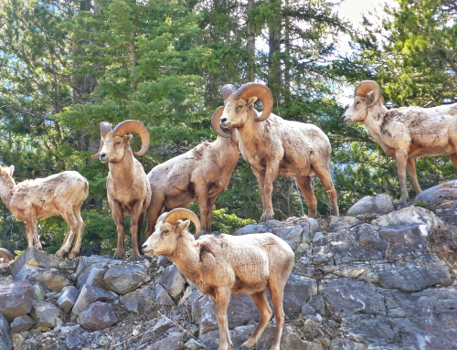 CBC Homestretch: Tracking Bighorn Sheep