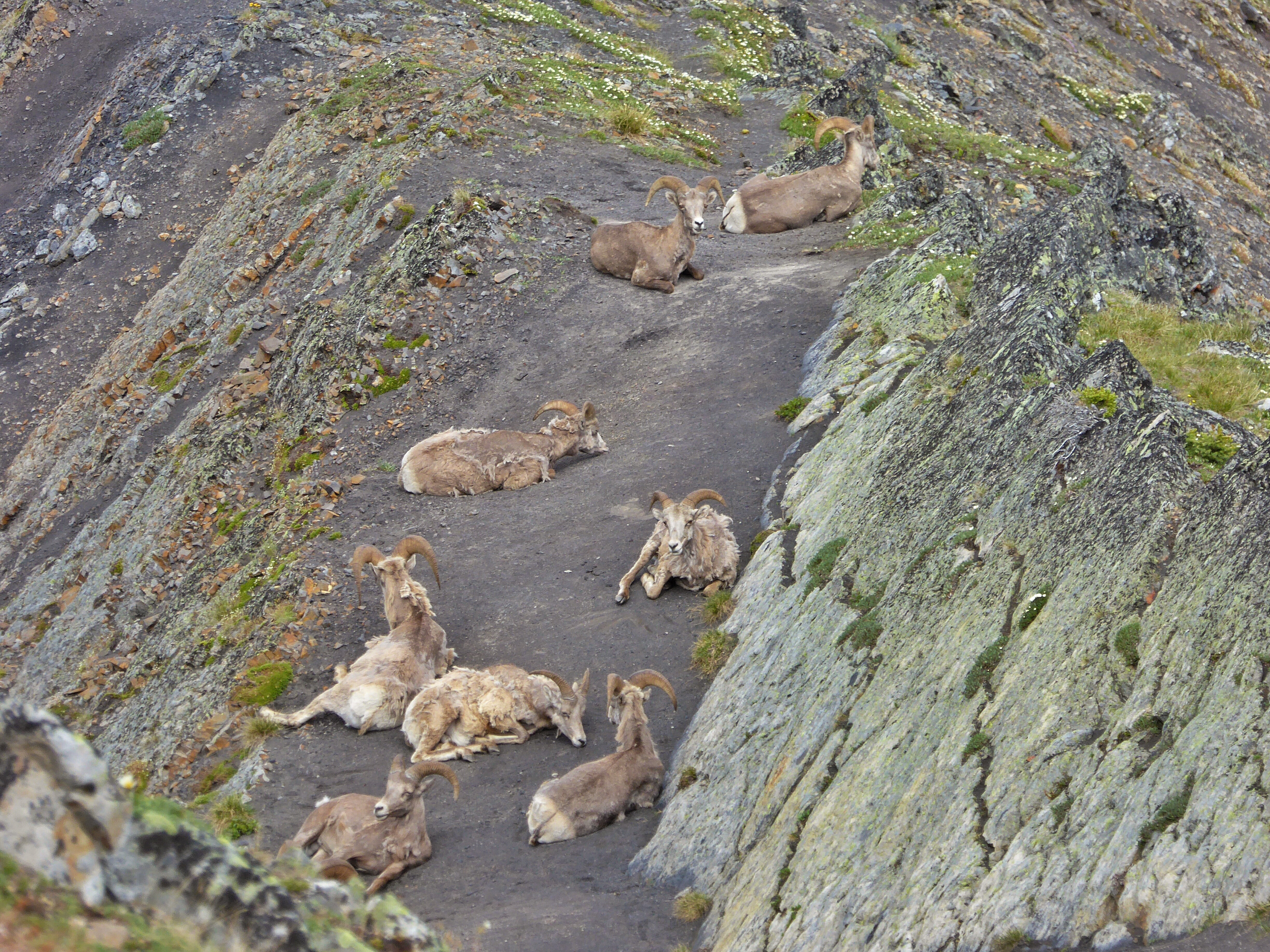 Bighorn Sheep|Picture of Sheep Laying Down in Kananaskis Provincial Park