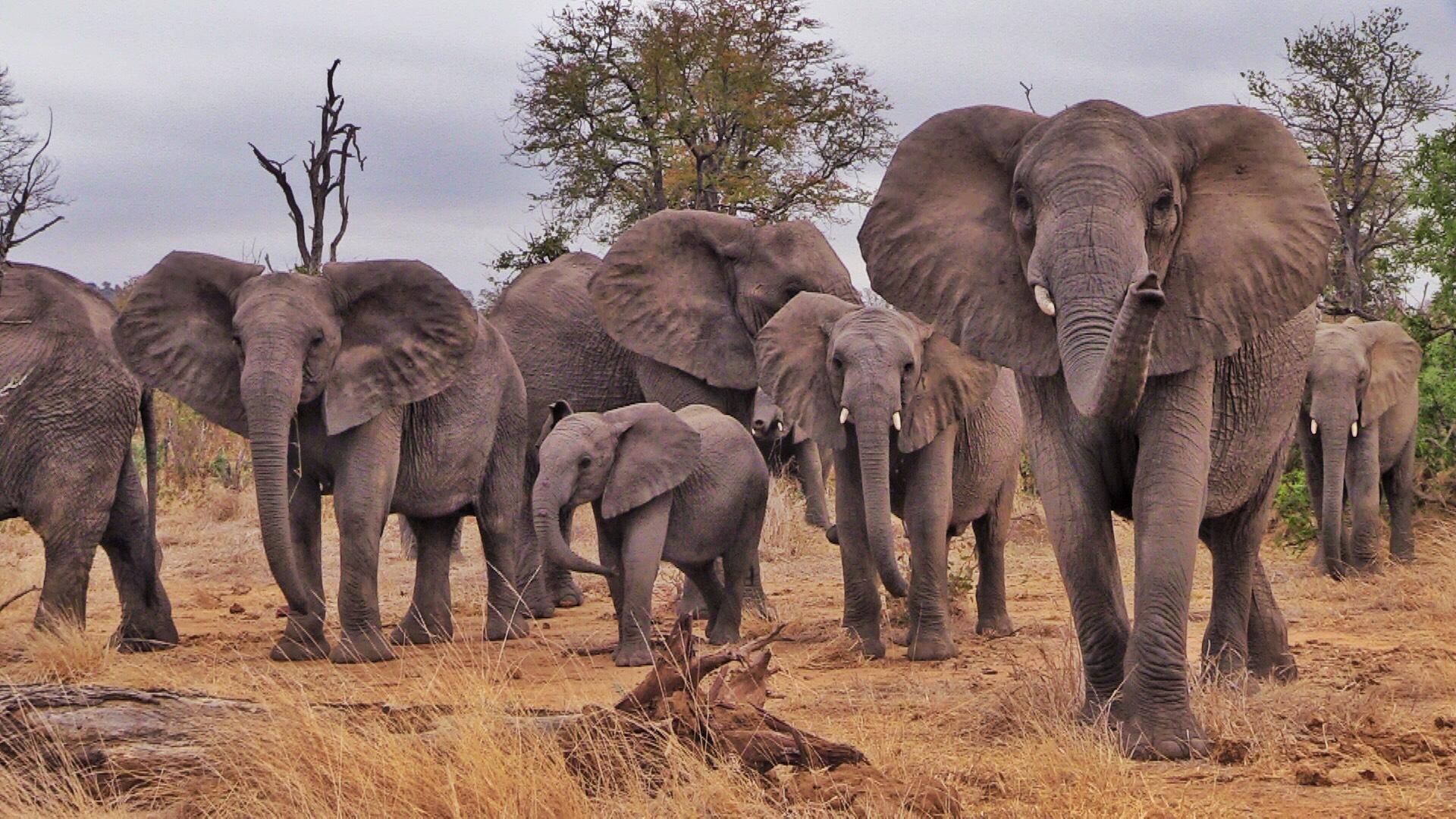 lake kariba herd of elephants going wild