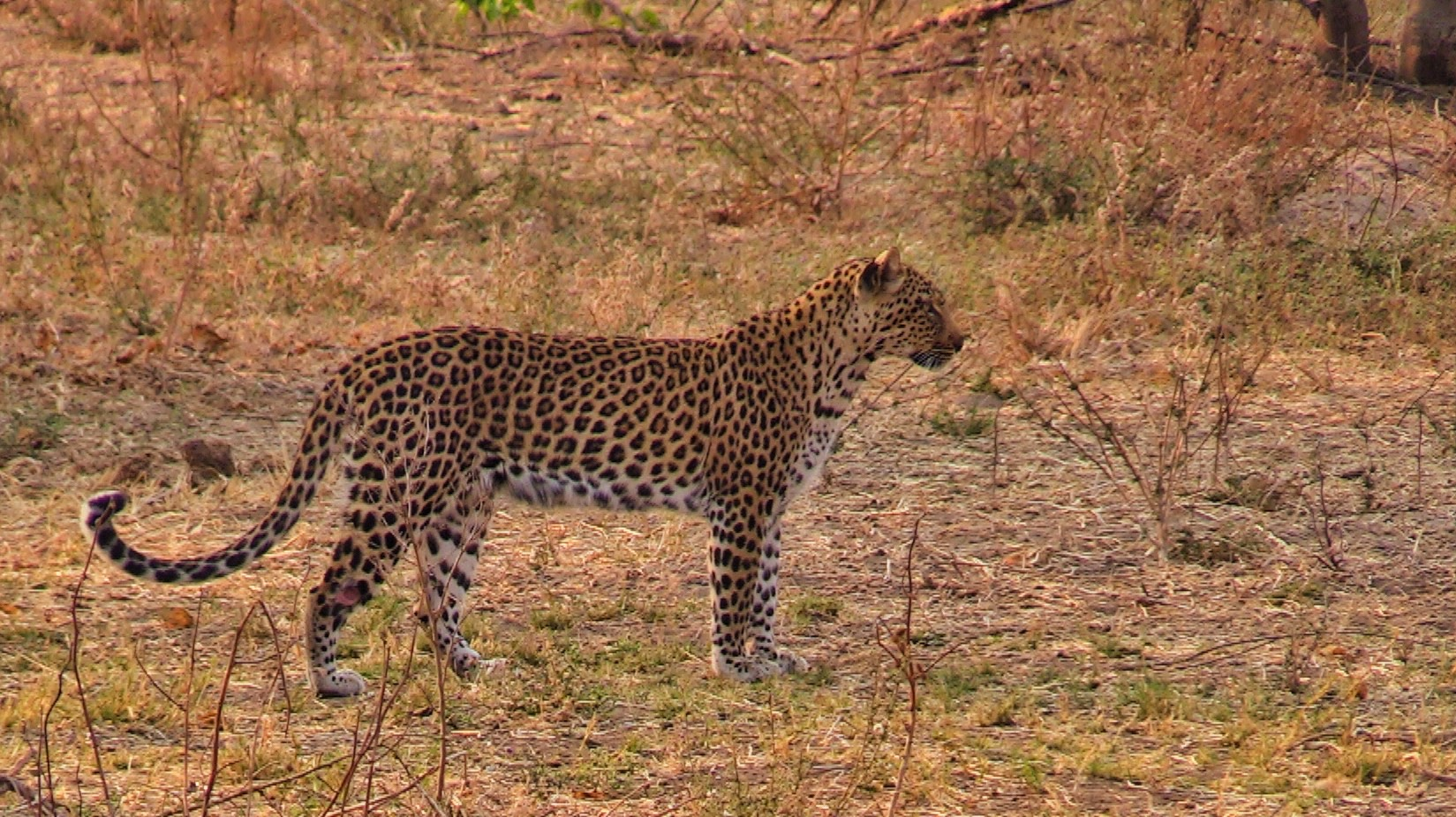 Zimbabwe| Picture of Leopard