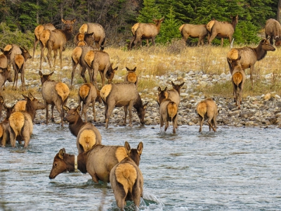 Elk icrossing river by Joe Chowaniec 2017