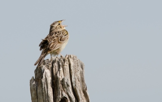 grasshopper sparrow | picture of grasshopper sparrow singing