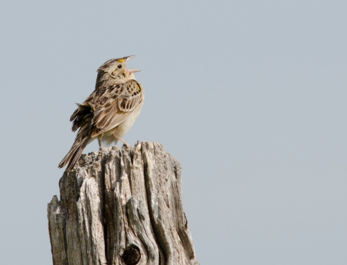 CBC Homestretch: Florida Grasshopper Sparrow