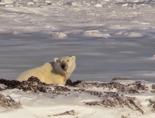 CBC Homestretch: Fall Migration in Churchill, Manitoba