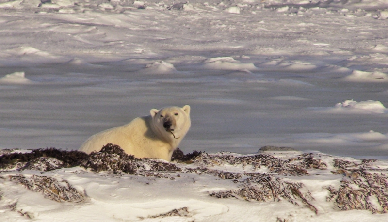 Churchill Manitoba | photo of polar bear