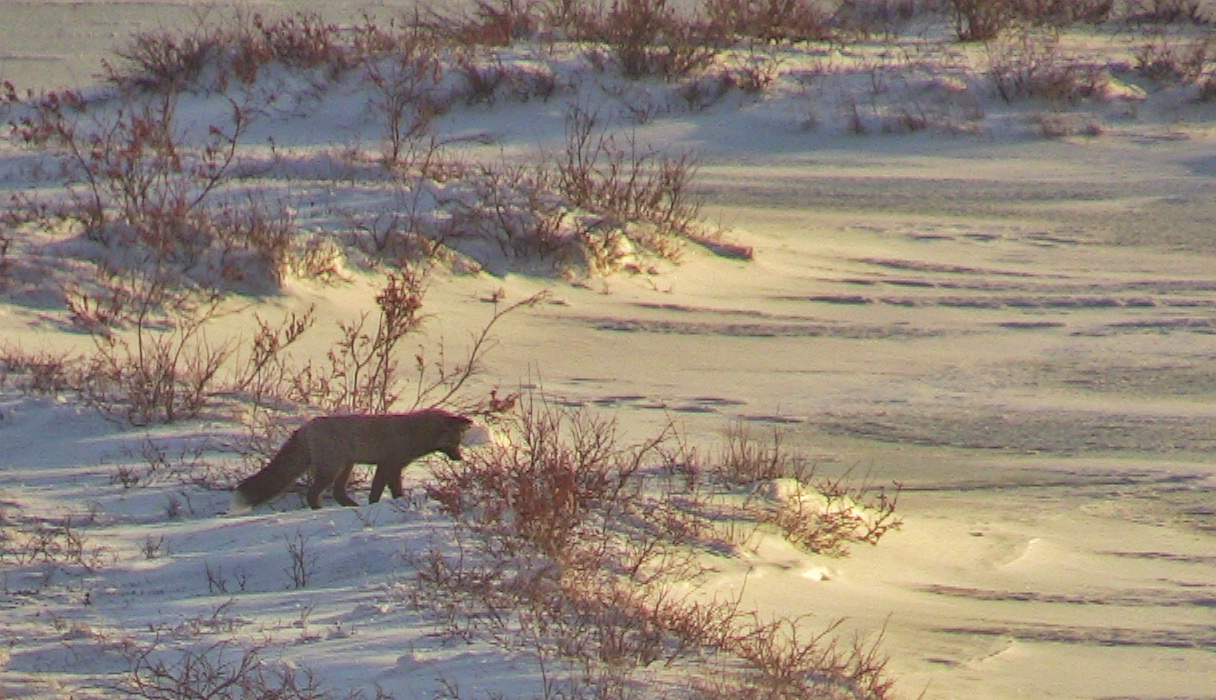 Churchill Manitoba | picture of red fox