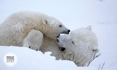 Polar bears | Polar bear & cub by Les