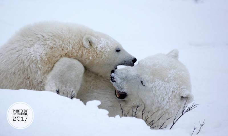Polar bears   Polar bear & cub by Les