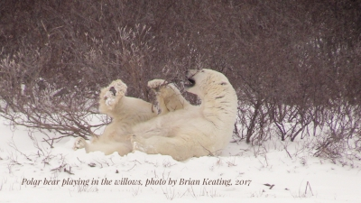 Polar bears | Polar bear playing in the willows