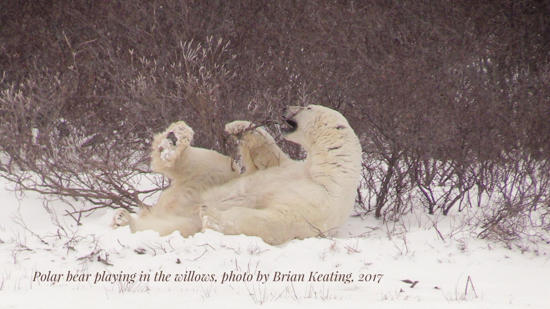 Polar bears   Polar bear playing in the willows