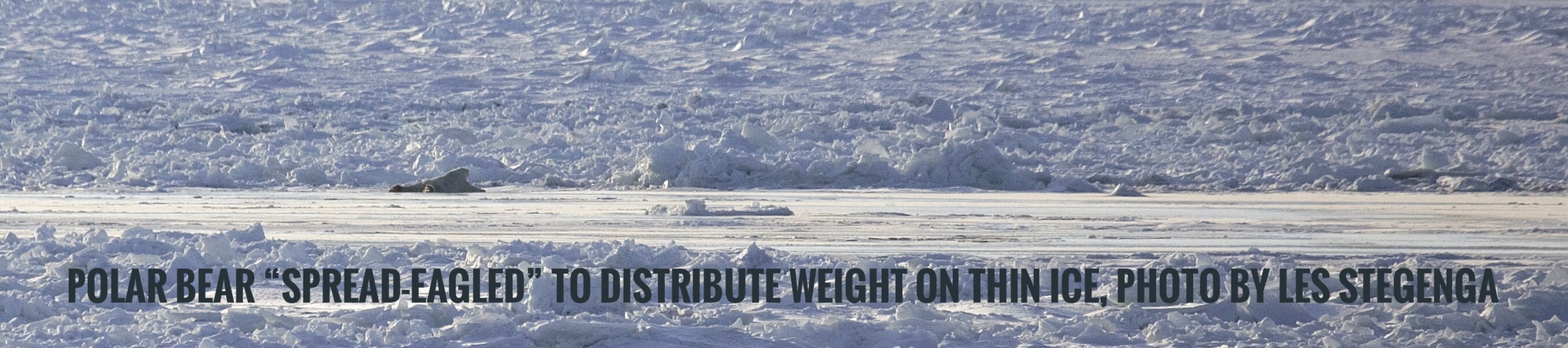 Polar bears   Polar bear spread eagle on ice by Les