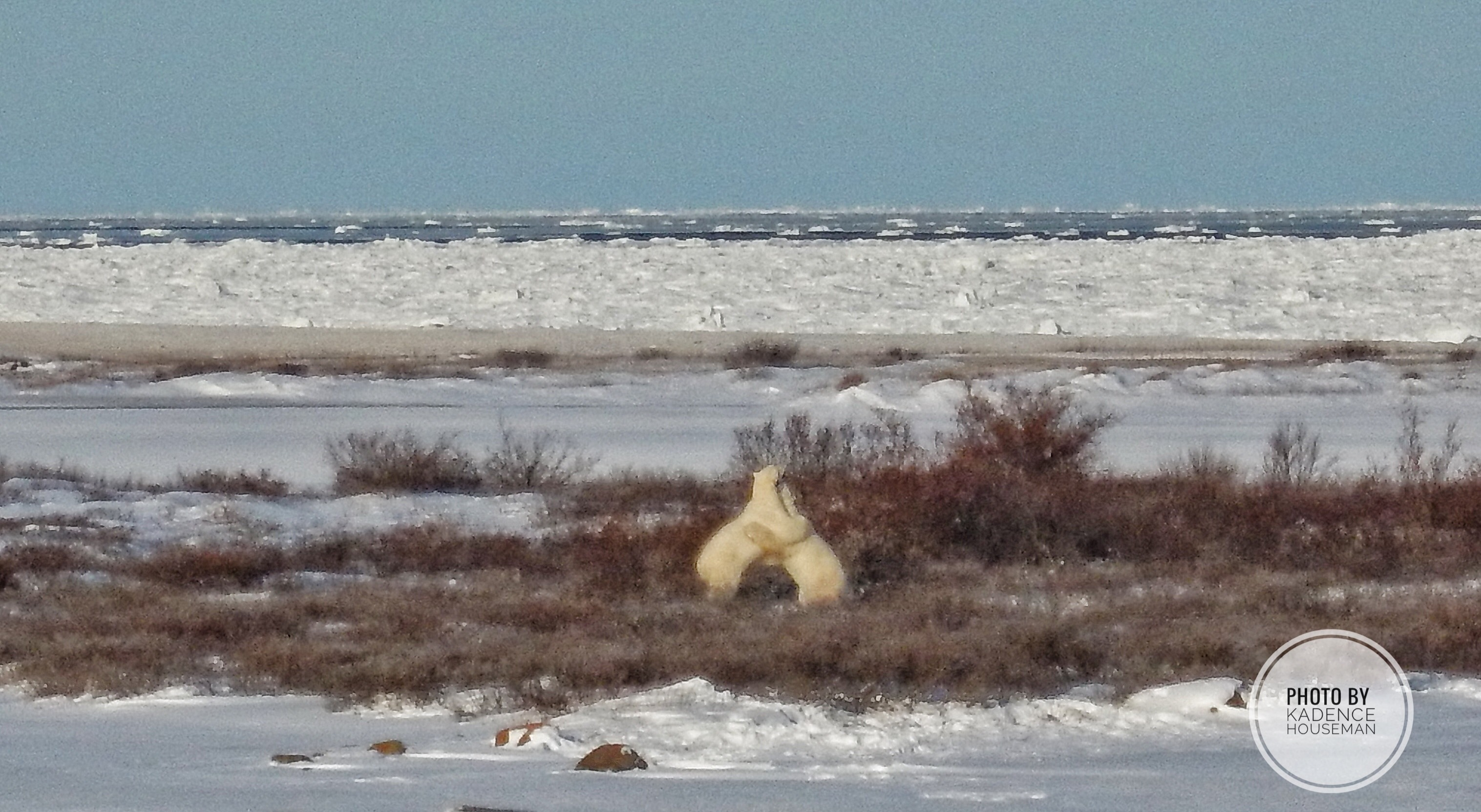 Polar bears | picture of polar bears playing