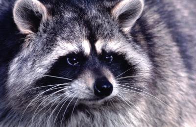 Brian Keating on CBC Homestretch   Raccoons