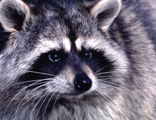 Brian Keating on CBC Homestretch: Raccoons