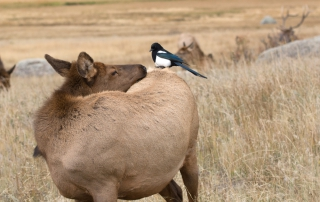 Magpies | picture of magpie on the back of an elk