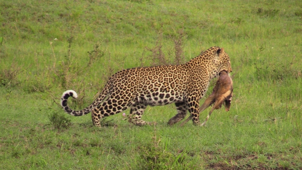 The leopard in early morning light, moving the remanants of his Thompson's gazelle kill from the night before.  He had a close encounter with a very keen hyena just moments after Brian took this photo!