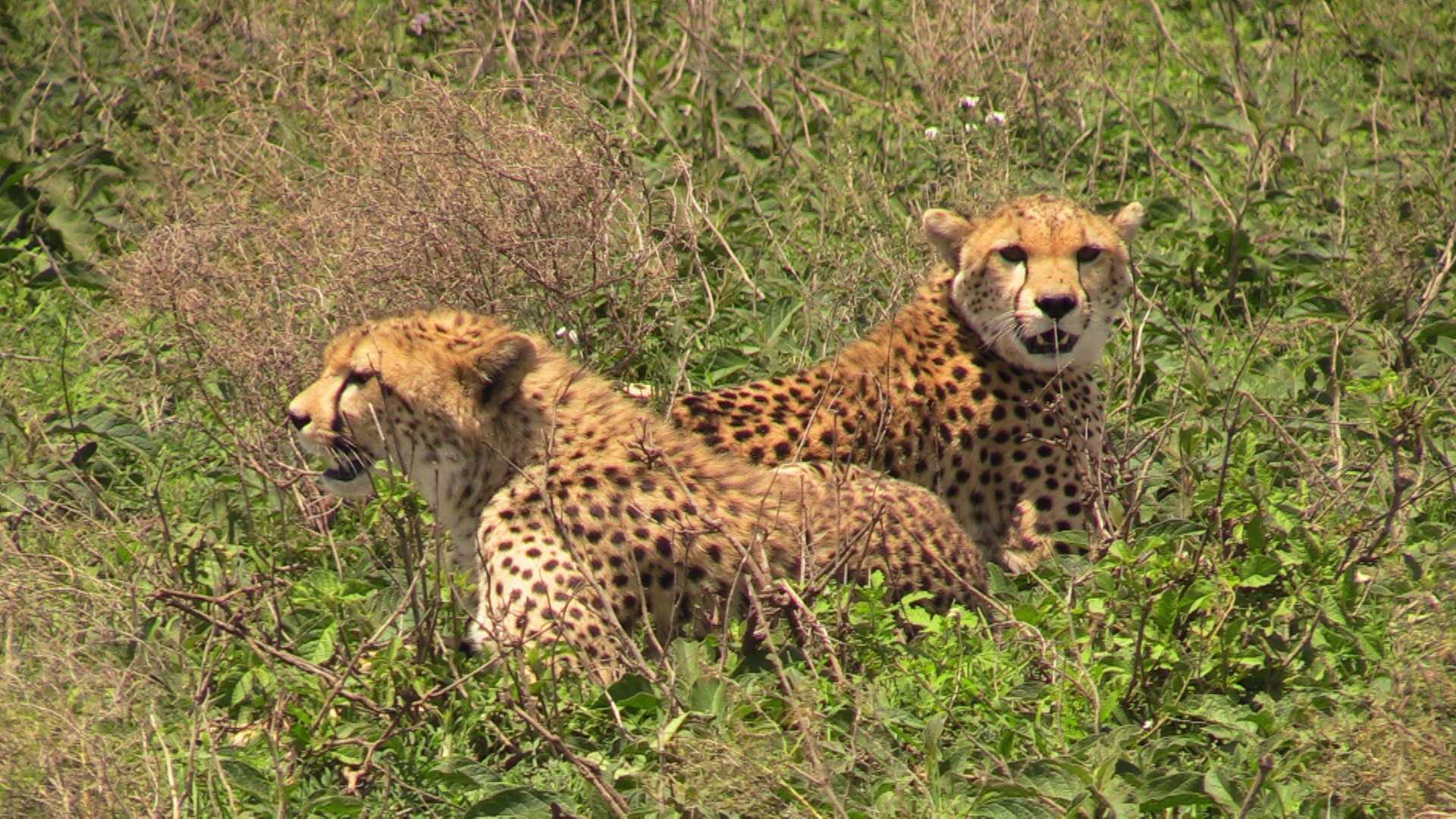 Two cheetah siblings, on their own out in the wilds of the Serengeti.   This photo was taken just moments before their successful chase of a young gazelle, as discussed during the CBC radio segment.