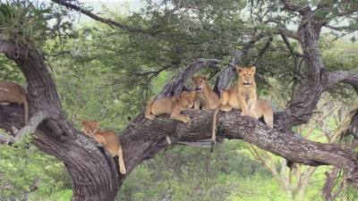 Lion pride up in a tree! This is very unusual behaviour to see, and may be related to the thick grass and bugs that live in the grass during these wet months.  Brian took this photo just yesterday!