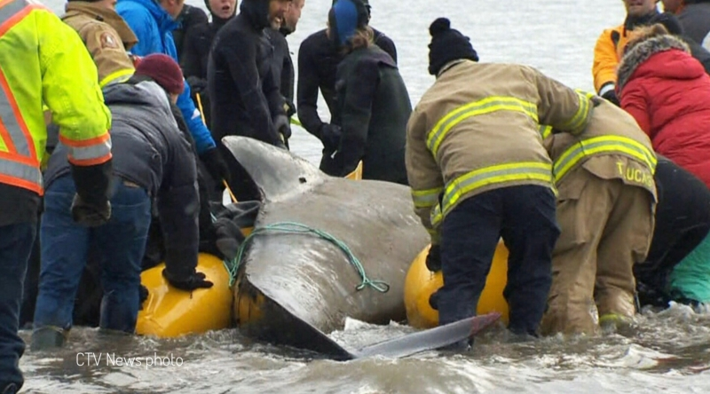 pilot whale | picture of pilot whale being rescued in Nova Scotia